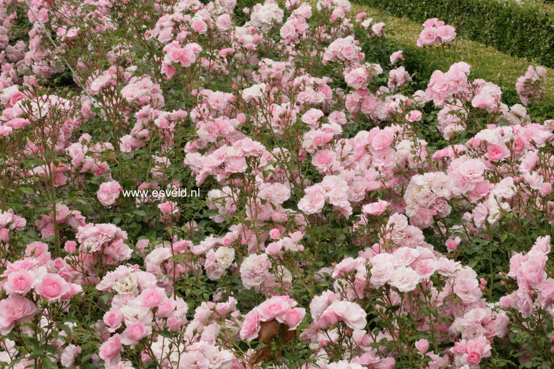 afbeeldingen en beschrijving van rosa bonica 82 www. Black Bedroom Furniture Sets. Home Design Ideas