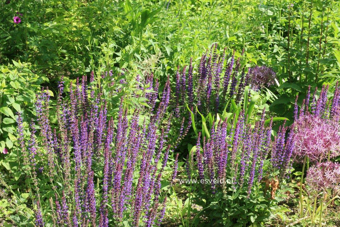Salvia nemorosa 'Ostfriesland'