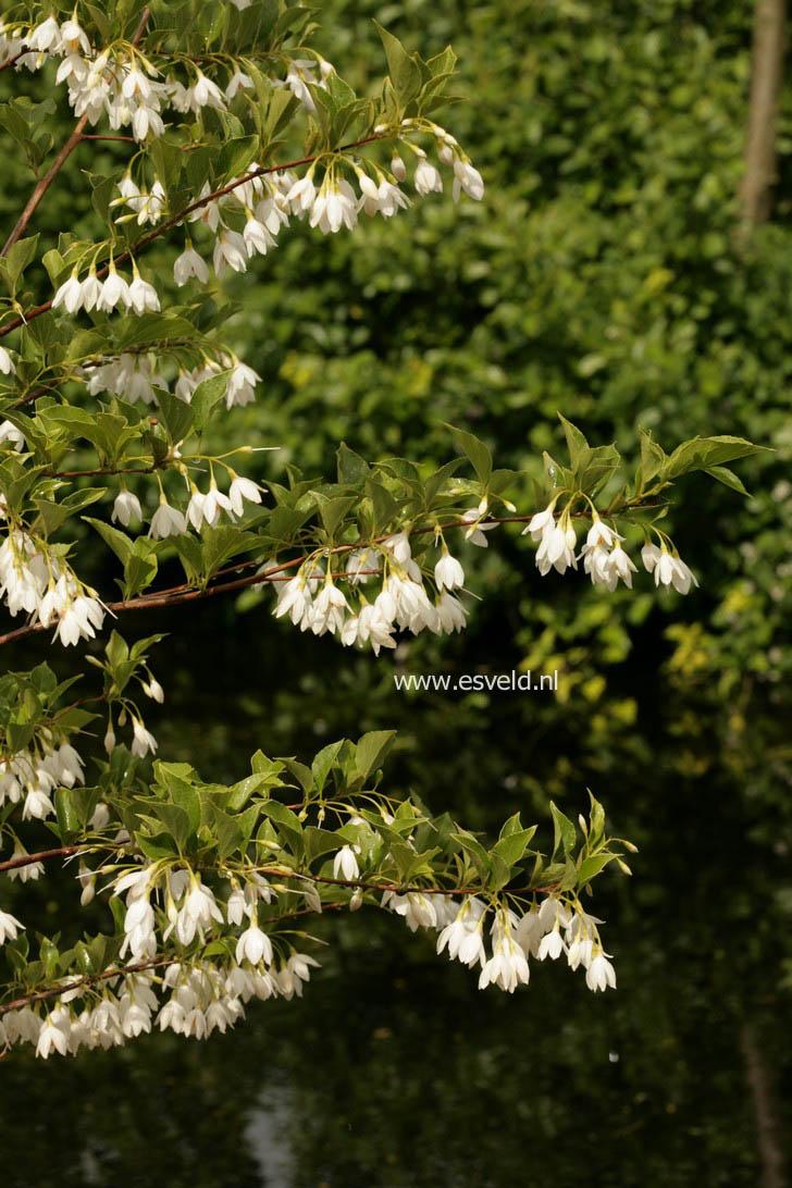Styrax japonicus 'Jippei-Kawamure'
