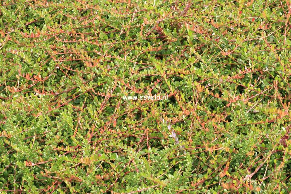 Pictures and description of vaccinium macrocarpon langlois for Vaccinium macrocarpon