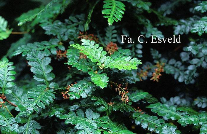 Weinmannia trichosperma