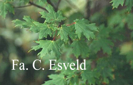 Acer hyrcanum ssp. stevenii