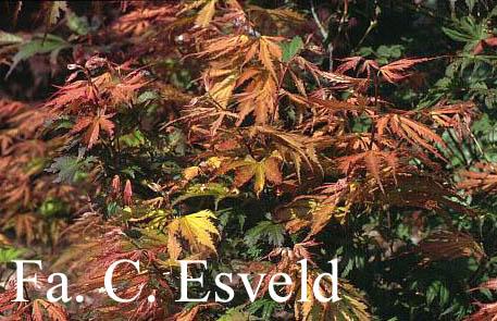 Acer palmatum 'Ariadne'