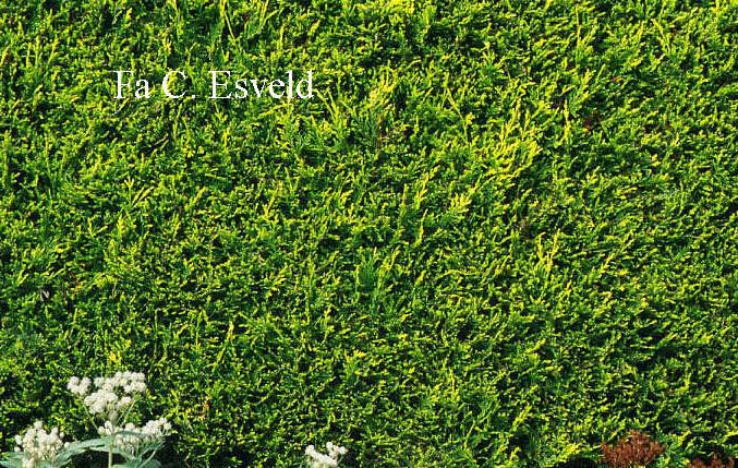 Cupressocyparis leylandii 'Castlewellan'