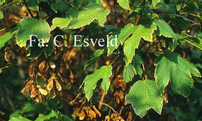 Acer sterculiaceum ssp. franchetii