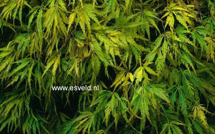 Picture and description of Acer palmatum 'Palmatifidum'