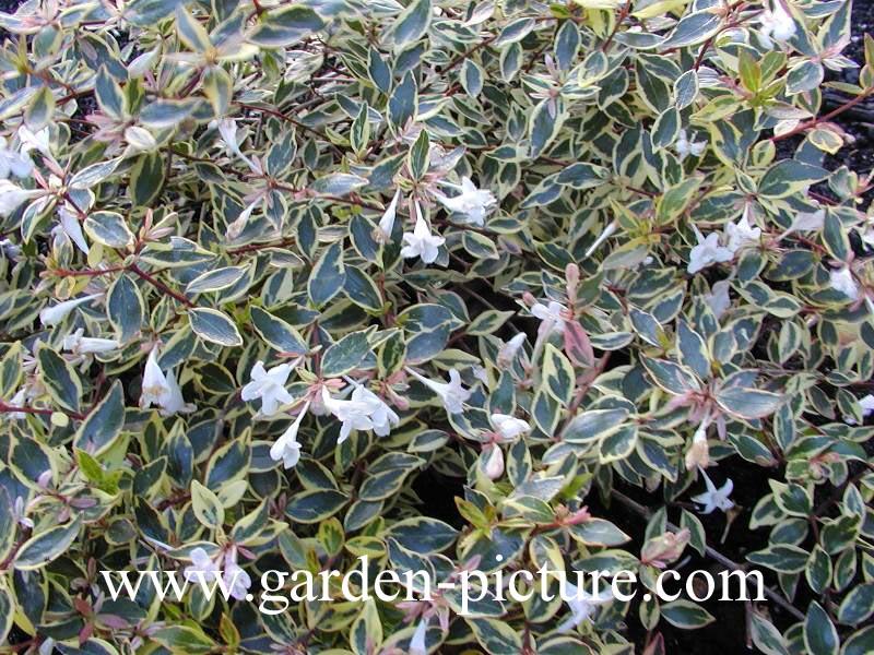 abbildungen und beschreibung von abelia grandiflora hopleys. Black Bedroom Furniture Sets. Home Design Ideas