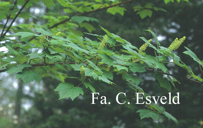 Acer caudatum ssp. ukurunduense