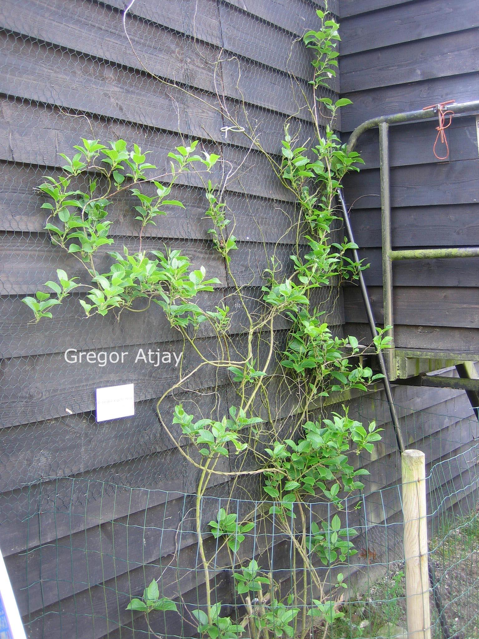 Актинидия выращивание и уход в сибири 42