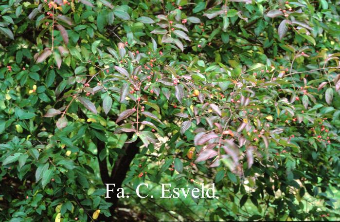 Euonymus hamiltonianus sieboldianus