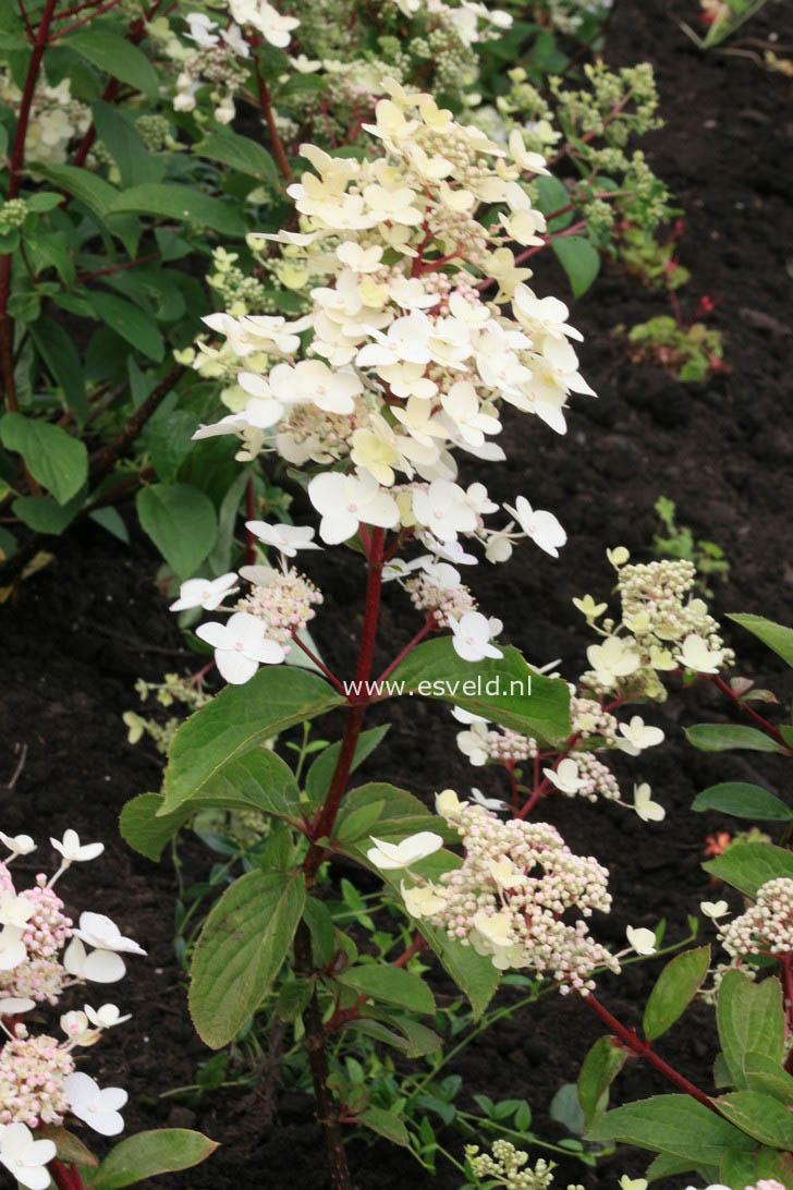 afbeeldingen en beschrijving van hydrangea paniculata wims. Black Bedroom Furniture Sets. Home Design Ideas