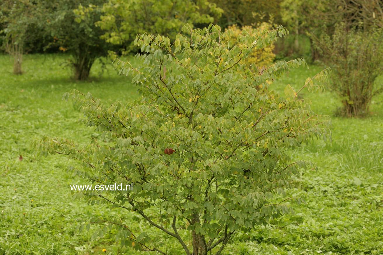 Phyllanthus glaucus