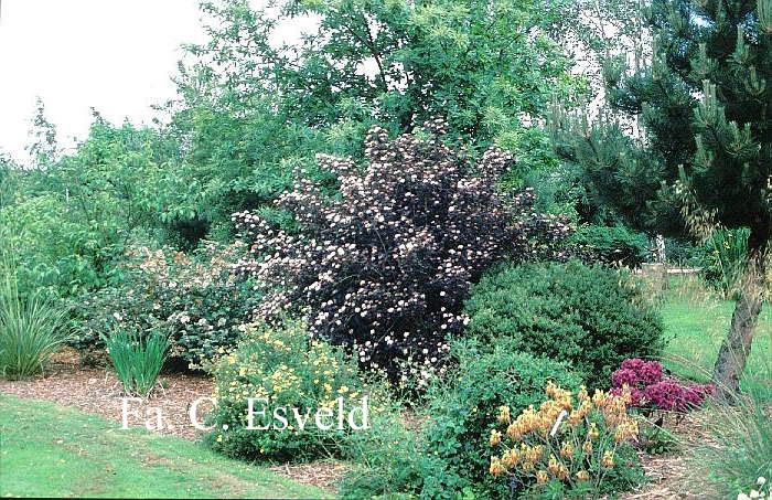 pictures and description of physocarpus opulifolius. Black Bedroom Furniture Sets. Home Design Ideas
