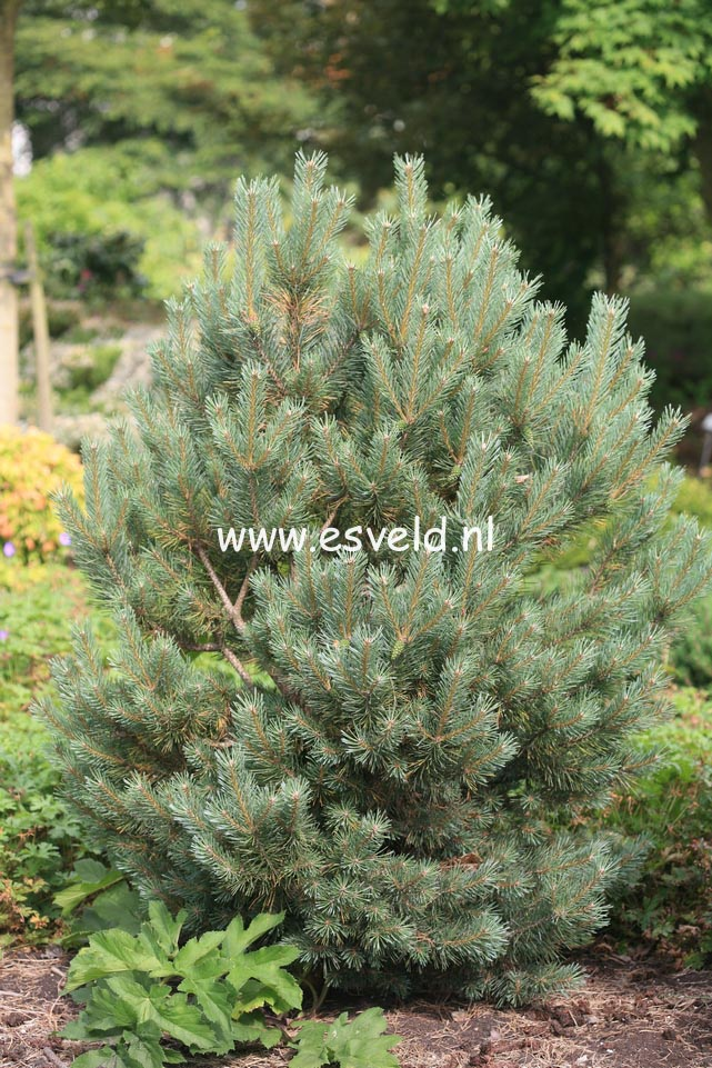 pictures and description of pinus sylvestris watereri. Black Bedroom Furniture Sets. Home Design Ideas