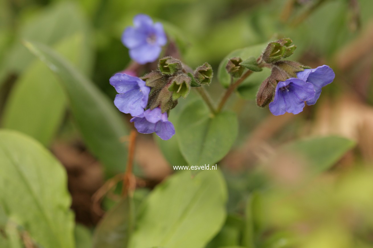 Pulmonaria angustifolia 'Blue Ensign'