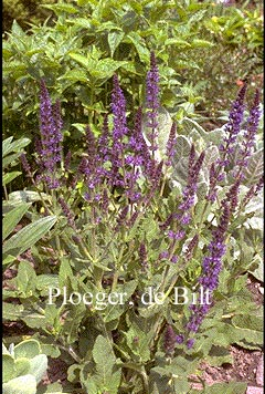 Salvia nemorosa 'Mainacht'