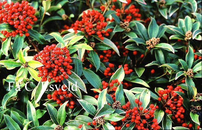 abbildungen und beschreibung von skimmia japonica subsp reevesiana. Black Bedroom Furniture Sets. Home Design Ideas