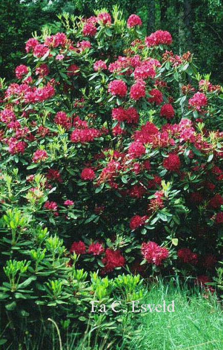 picture and description of rhododendron 39 nova zembla 39. Black Bedroom Furniture Sets. Home Design Ideas