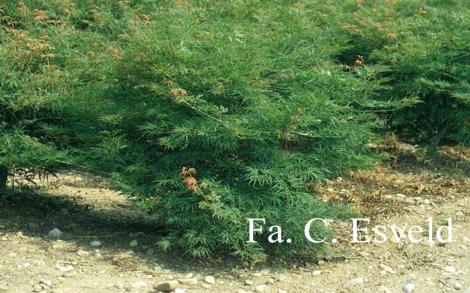 Picture And Description Of Acer Palmatum Green Globe