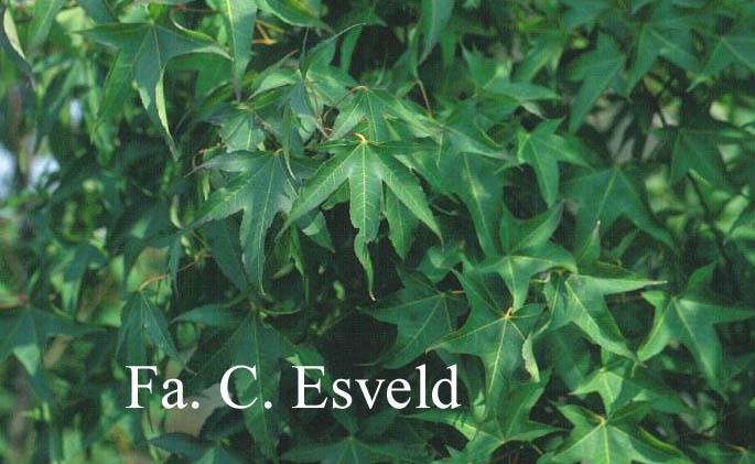 Acer campbellii ssp. sinense