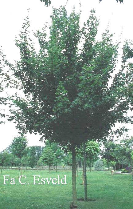 Picture And Description Of Acer Campestre Elsrijk