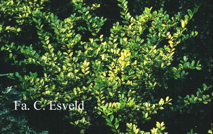 Picture and description of Ilex crenata \'Golden Gem\'
