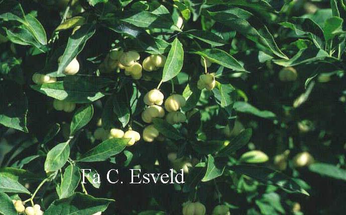 Euonymus europaeus 'Albus'