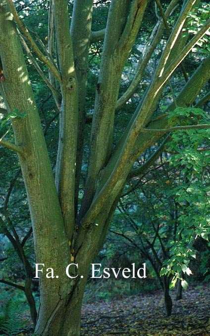 Acer davidii ssp. grosseri