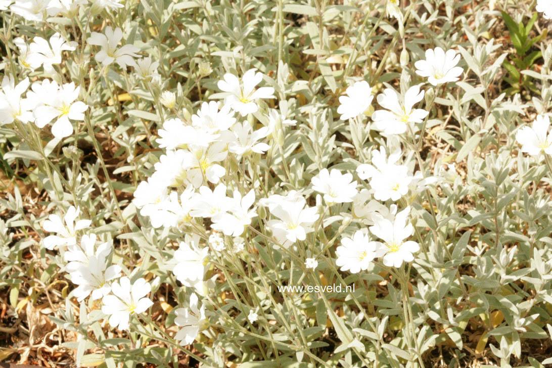 Cerastium tomentosum