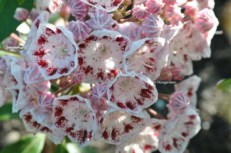 Kalmia latifolia 'Ginkona'