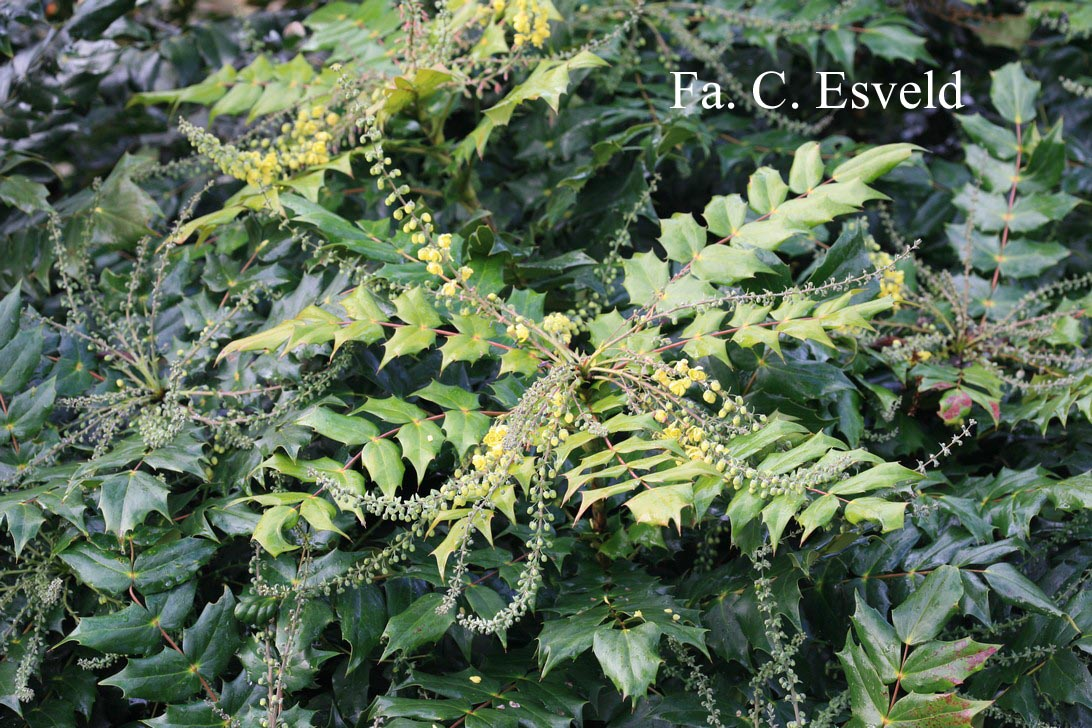 Pictures and description of mahonia japonica for Mahonia japonica
