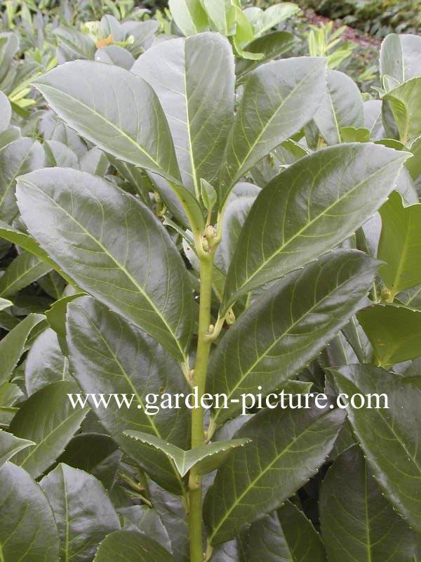 pictures and description of prunus laurocerasus anbri etna. Black Bedroom Furniture Sets. Home Design Ideas