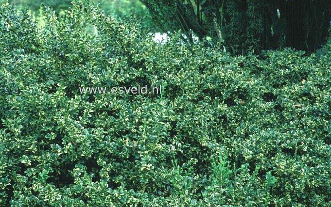 buxus sempervirens 39 arborescens variegata 39. Black Bedroom Furniture Sets. Home Design Ideas