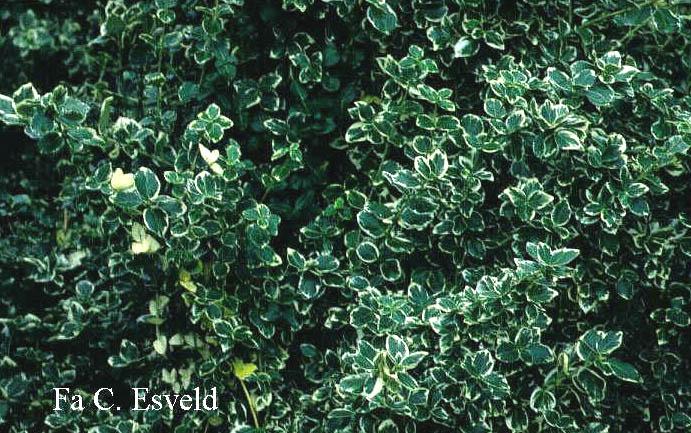 picture and description of euonymus fortunei 39 emerald gaiety 39. Black Bedroom Furniture Sets. Home Design Ideas