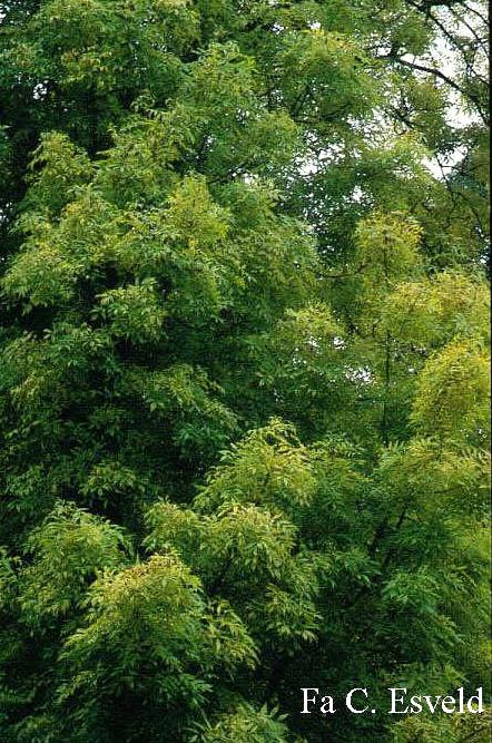 Комнатные деревья широколиственные