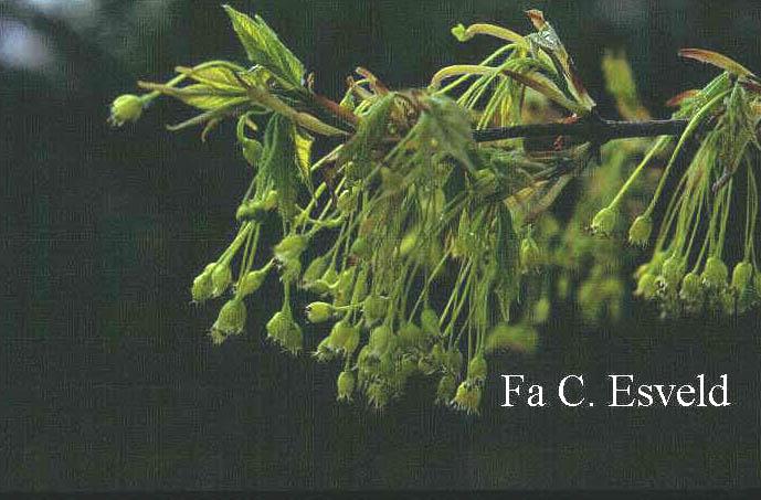 Acer saccharum ssp. leucoderme