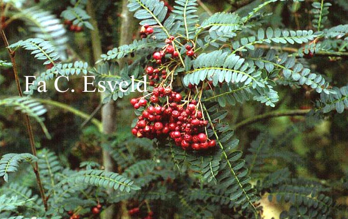 Sorbus khumbiensis