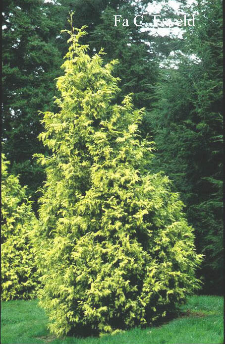 Thuja plicata 'Irish Gold' (5754)
