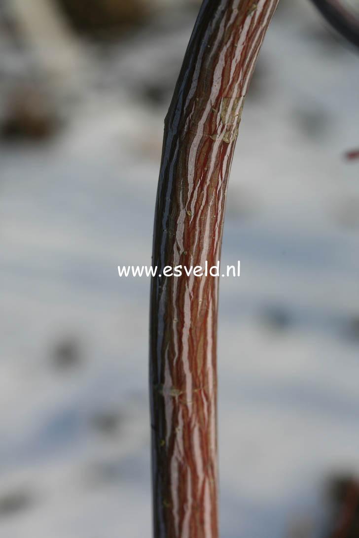 Acer davidii 'Serpentine'