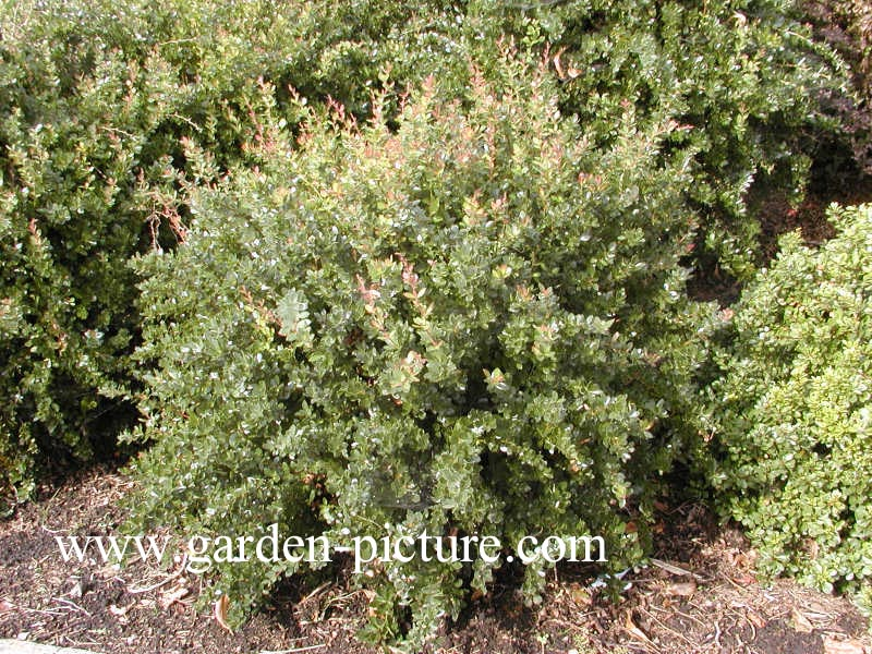 pictures and description of berberis buxifolia nana www. Black Bedroom Furniture Sets. Home Design Ideas