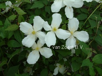 pictures and description of clematis montana grandiflora. Black Bedroom Furniture Sets. Home Design Ideas