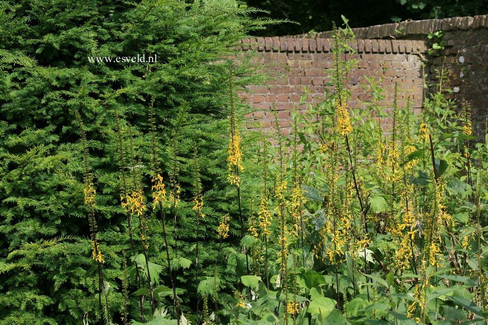 Ligularia stenocephala 'The Rocket'