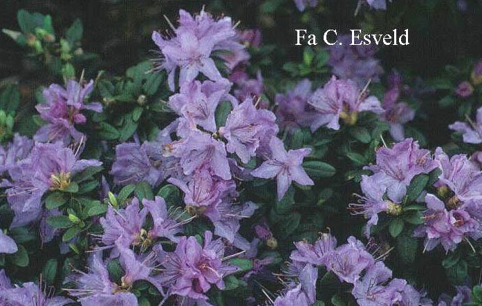Rhododendron Blaue Mauritius : afbeelding en beschrijving van rhododendron blaue ~ Lizthompson.info Haus und Dekorationen
