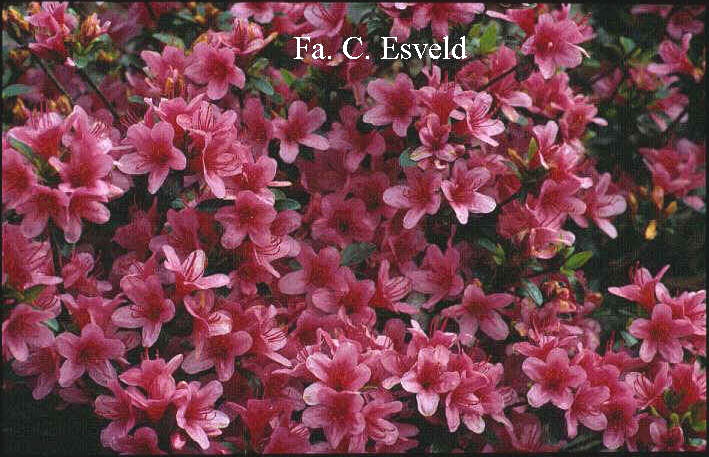Azalea 'Silvester'