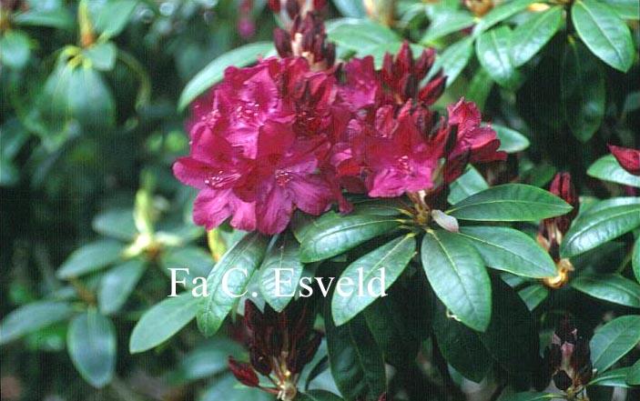 abbildung und beschreibung von rhododendron 39 roland 39. Black Bedroom Furniture Sets. Home Design Ideas