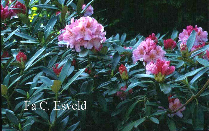 an analysis of the novel roses rhododendron by alice adams Amazoncom: roses, rhododendron (9781556280207): alice adams roses, rhododendron first alexander's rebound, a new companion novel to his newbery.