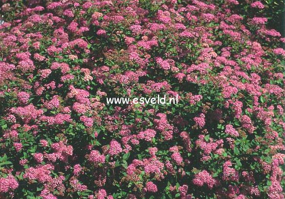 Spiraea Japonica Little Princess Spiraea Little Princess