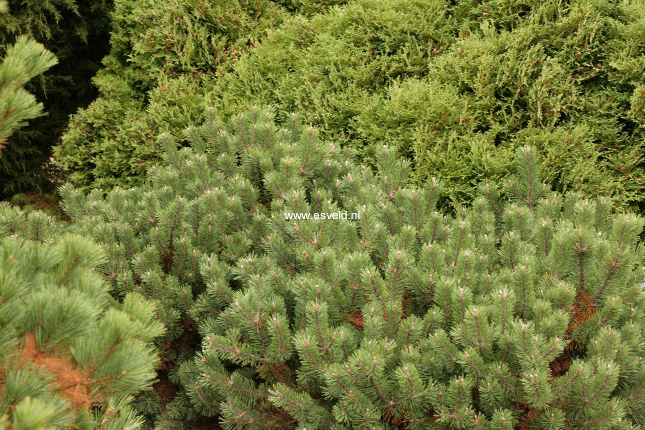 Сосна бунге выращивание из семян фото