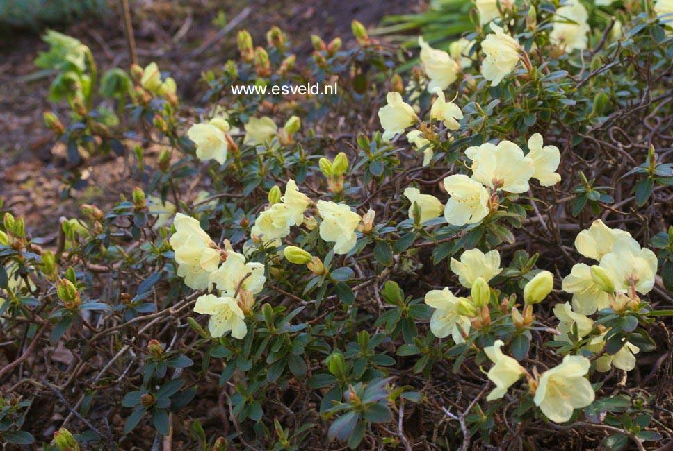 afbeeldingen en beschrijving van rhododendron wren www. Black Bedroom Furniture Sets. Home Design Ideas