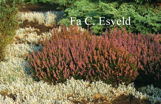 Picture And Description Of Calluna Vulgaris Spring Torch